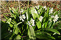 NJ4161 : Pyrenean Squill (Scilla lilio-hyacinthus) by Anne Burgess