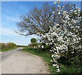 SU5255 : Roadside Blackthorn by Des Blenkinsopp