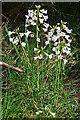 NJ3357 : Cuckoo Flower by Anne Burgess