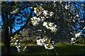 TF0920 : Cherry Blossom by Bob Harvey