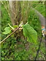 TF0820 : Leaves on a Wych Elm by Bob Harvey