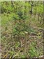 TF0820 : Juvenile Yew by Bob Harvey