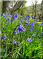 NX0572 : Garry Wood bluebells by Mary and Angus Hogg