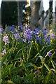 TM3865 : Bluebells, Kelsale churchyard by Christopher Hilton