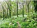 ST4410 : Wild Garlic - Bincombe Beeches nature reserve by Sarah Smith