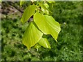 SO7744 : Lime tree leaves by Philip Halling
