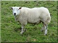 SO7842 : A Texel ram by Philip Halling