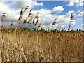 SP3975 : Alban's Reedbed by Alan Paxton