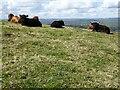 SO1224 : Highland cattle of Allt yr Esgair by Philip Halling