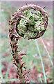 NJ3358 : New Fern Frond by Anne Burgess