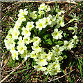 NJ3234 : Primrose (Primula vulgaris) by Anne Burgess