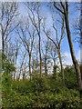 TF0820 : Ash trees by Bob Harvey