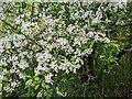 TF0820 : Massed blossom by Bob Harvey