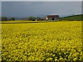 SO8829 : A barn and oilseed rape by Philip Halling