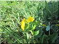 SE8647 : Marsh  Marigold  (Caltha  palustris) by Martin Dawes