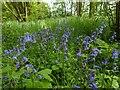 TF0820 : Mature bluebells by Bob Harvey