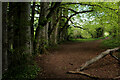 ST8850 : Beech Trees passed by on the Wessex Ridgeway by Chris Heaton