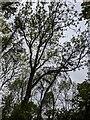 TF0820 : Ash trees overhead by Bob Harvey