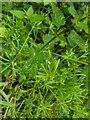 TF0820 : Galium aparine - tiny white flower by Bob Harvey