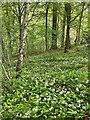 SK3085 : Wild garlic in Whiteley Woods by Graham Hogg