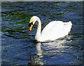 SP1401 : Swan, River Coln, Fairford by Brian Robert Marshall