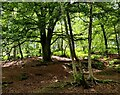 SP0075 : Woodland at the Lickey Hills Country Park by Mat Fascione