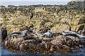 NU2438 : Grey Seals by Ian Capper