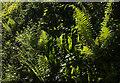 SX8863 : Ferns, Cockington Road by Derek Harper