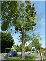 SK6544 : Mistletoe tree, Burton Joyce by Alan Murray-Rust