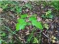 TF0820 : A Field Maple sapling by Bob Harvey