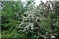 TM0113 : Hawthorn bushes by Colchester Road, West Mersea by David Howard