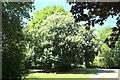 TF0414 : A tree in flower by Bob Harvey