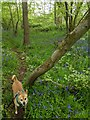 TF0820 : Bluebells under the trees by Bob Harvey