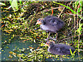 SD7807 : Juvenile Coots on the Manchester, Bolton and Bury Canal at Radcliffe by David Dixon