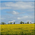 NS8764 : Buttercups and hawthorn by M J Richardson