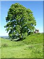 SN5520 : Ash tree and castle remains by Philip Halling