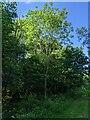 TF0820 : Lone Ash Tree by Bob Harvey