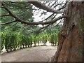 SJ9090 : Inside the Yew Tree Maze by Gerald England