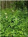 TF0821 : Wild hedge rose by Bob Harvey