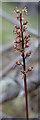 NJ1167 : Lesser Twayblade (Neottia cordata) by Anne Burgess