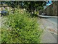 SE1423 : Perennial wall rocket, Churchfields Road, Brighouse by Humphrey Bolton