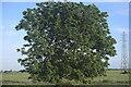 TF1318 : Oak tree by Bob Harvey