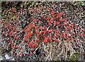 NJ4648 : British Soldier Lichen (Cladonia cristatella) by Anne Burgess