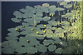 TF1618 : Water Lily by Bob Harvey