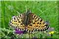 NJ1615 : Small Pearl-bordered Fritillary (Boloria selene) by Anne Burgess