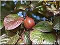 TF0820 : A cherry Plum by Bob Harvey