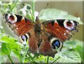 TL5569 : Peacock Butterfly by Colin Smith