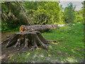 NY3406 : Tree stump and trunk, Rydal by Humphrey Bolton