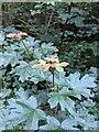 TF0820 : Field Maple secondary growth by Bob Harvey