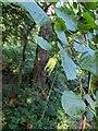 TF0820 : A Hazel nut by Bob Harvey